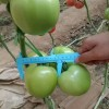 兰州西红柿苗 抗病毒草莓西红柿苗基地