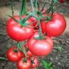 西安批发番茄苗 大粉番茄苗厂