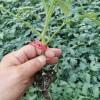 延安草莓柿子苗 抗病毒大果型西红柿苗