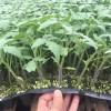 应县西红柿苗 那有大红番茄育苗厂
