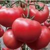 五台销售西红柿苗 大粉西红柿苗厂