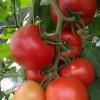 广安小番茄苗厂 粉贝贝小圆番茄苗代育