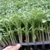 巴中硬粉西红柿苗厂 抗病毒耐热西红柿苗供应