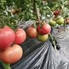 德宏草莓番茄苗 200-250g带绿肩西红柿苗